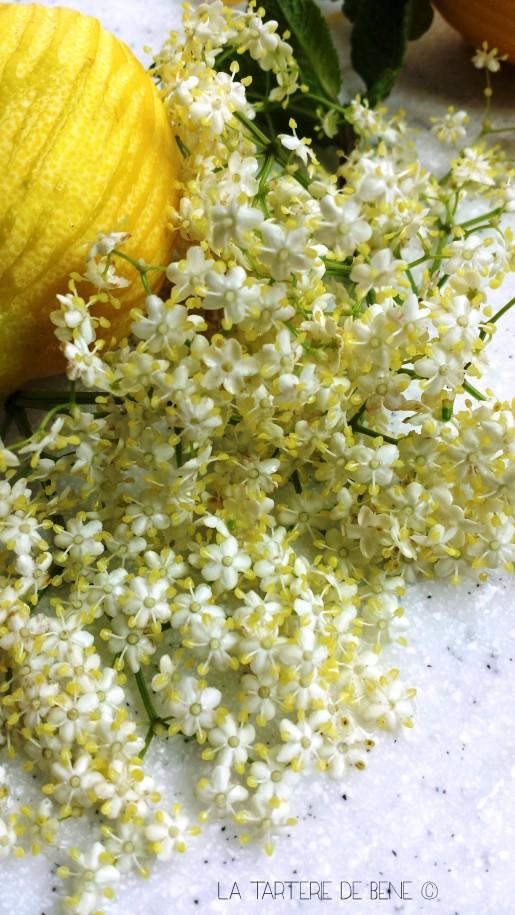 fleur de sureau 1